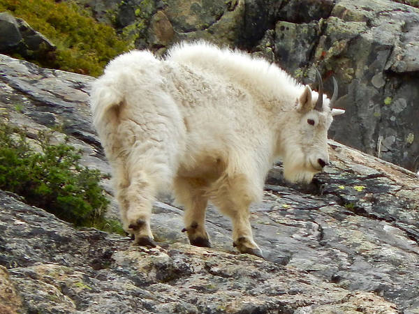 Photograph - Rocky Mountain Goat by Dan Miller