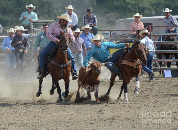 Wall Art - Photograph - Rodeo Steer Wrestling by Bob Christopher