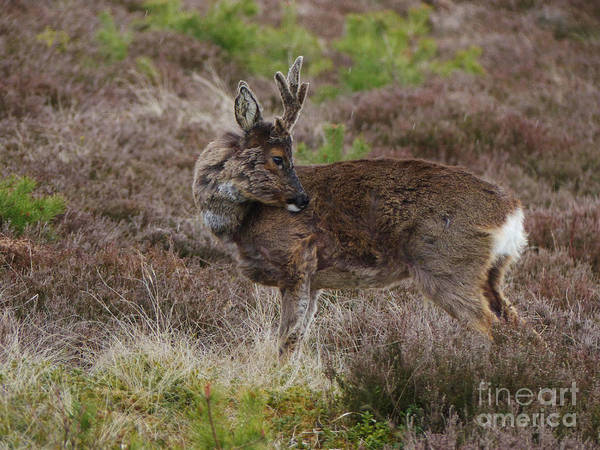 Photograph - Roe Buck - Spring Moult by Phil Banks