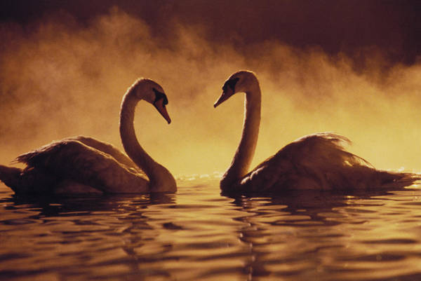 Sweet Bird Photograph - Romantic African Swans by Brent Black - Printscapes