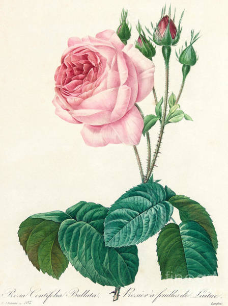 Wall Art - Painting - Rosa Centifolia Bullata by Pierre Joseph Redoute