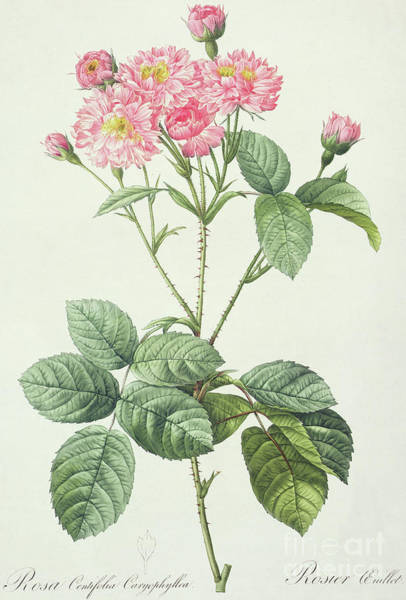 Wall Art - Drawing - Rosa Centifolia Caryophyllea by Pierre Joseph Redoute