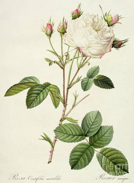 Wall Art - Painting - Rosa Centifolia Mutabilis by Pierre Joseph Redoute