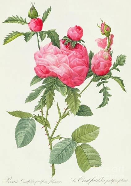 Wall Art - Painting - Rosa Centifolia Prolifera Foliacea by Pierre Joseph Redoute