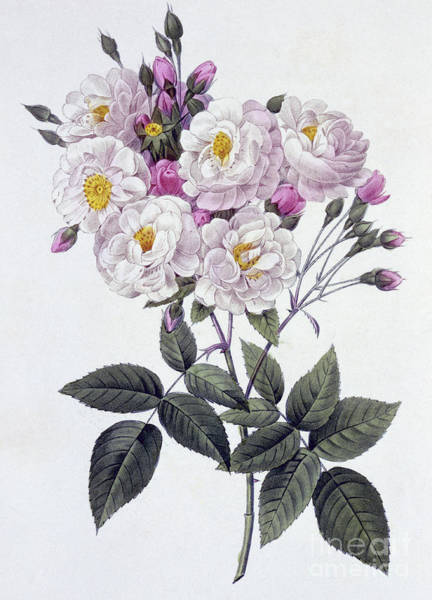Wall Art - Drawing - Rosa Noisettiana by Pierre Joseph Redoute