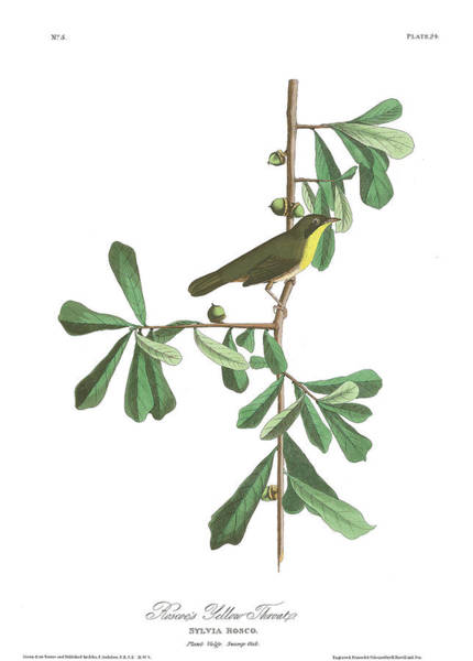 Wall Art - Painting - Roscoe's Yellow-throat by John James Audubon