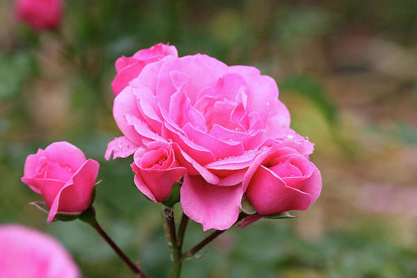 Photograph - Rose And Friends by Ree Reid