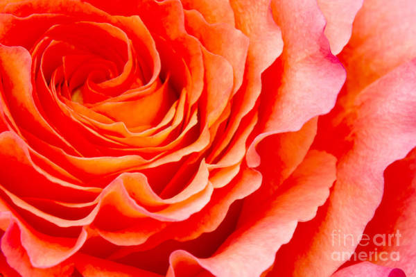 Orange Rose Photograph - Rose by Angela Doelling AD DESIGN Photo and PhotoArt