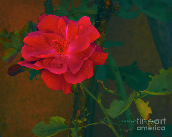 Mixed Media - Rose  by Charles Muhle