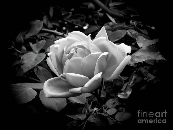Photograph - Rose by Fran Woods