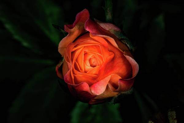 Photograph - Rose by Jay Stockhaus