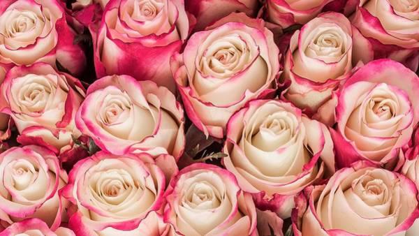 Flower Digital Art - Rose by Maye Loeser