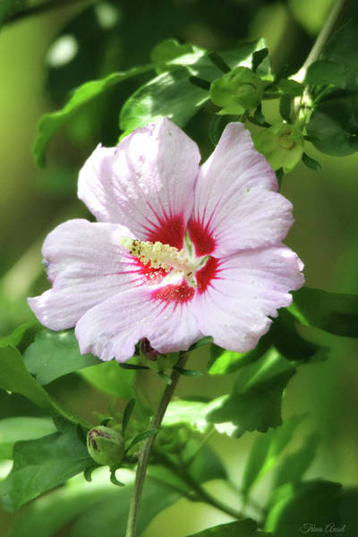 Photograph -  Rose Of Sharon by Trina Ansel