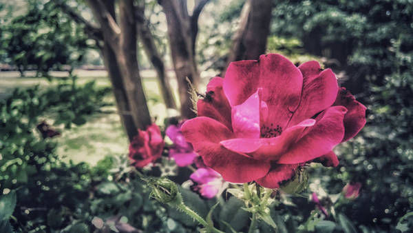 Photograph - Roses by Mike Dunn