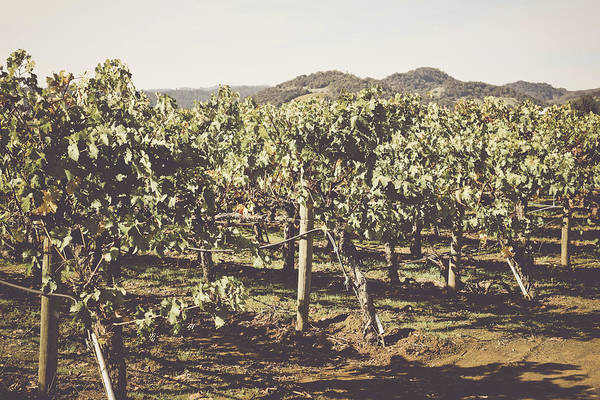 Photograph - Row Of Grapevines by Brandon Bourdages