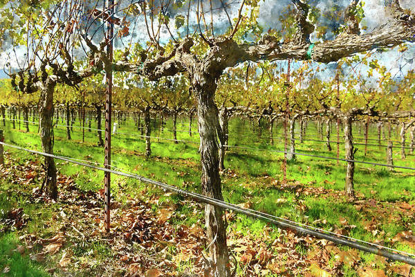 Photograph - Rows Of Grapevines In Napa Valley Caliofnia by Brandon Bourdages