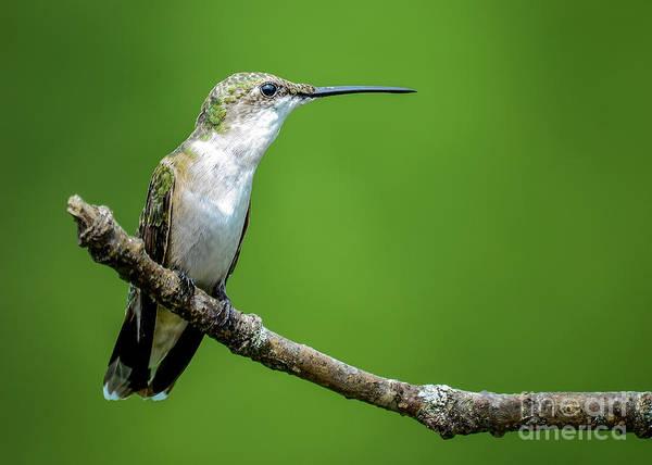 Photograph - Ruby-throated Hummingbird by Katie Joya