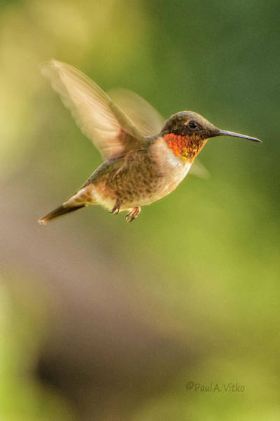 Photograph - Ruby-throated Hummingbird.... by Paul Vitko