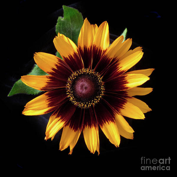 Photograph - Rudbeckia 'denver Daisy' by Ann Jacobson