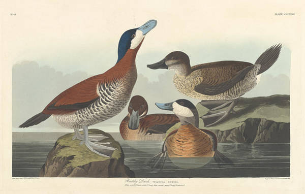Painting - Ruddy Duck by John James Audubon