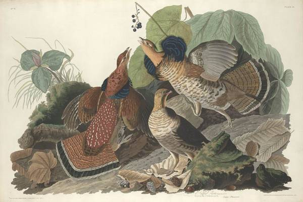 Wall Art - Drawing - Ruffed Grouse by Dreyer Wildlife Print Collections