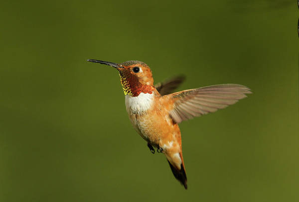 Photograph - Rufous  by Ronnie and Frances Howard