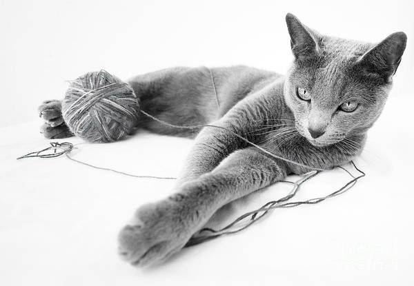 Domestic Cat Wall Art - Photograph - Russian Blue by Nailia Schwarz