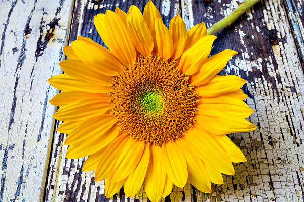 Paint Chips Photograph - Rustic Sunflower by Garry Gay