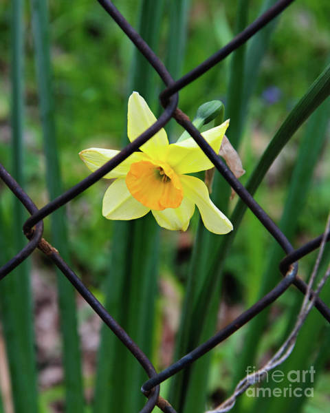 Rusty Chain Wall Art - Photograph - 1 Sad Daffy Behind Bars by Andee Design