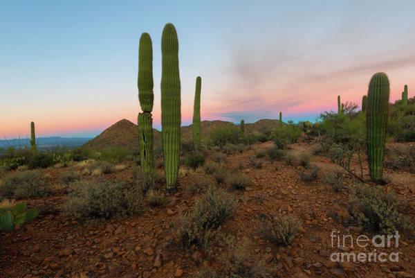Saguaros Photograph - Saguaro Dusk by Mike Dawson