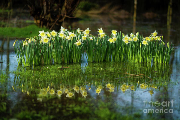 Photograph - Saint David's Day Daffodils In Wales by Keith Morris