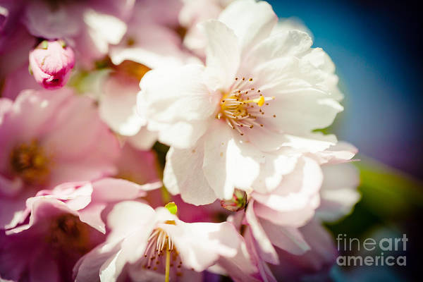 Photograph - Sakura Blossoms Pink Cherry Artmif.lv by Raimond Klavins