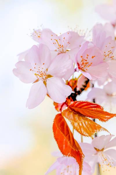 Japanese Poetry Wall Art - Photograph - Sakura - Japanese Cherry Blossom by Alexander Senin