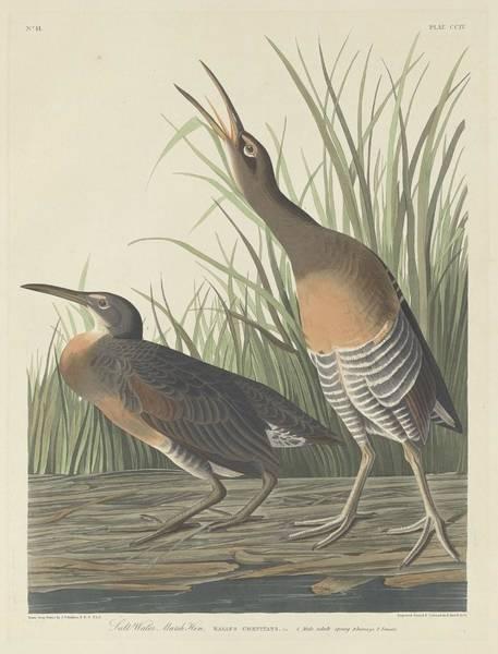 Wetland Drawing - Salt Water Marsh Hen by Dreyer Wildlife Print Collections