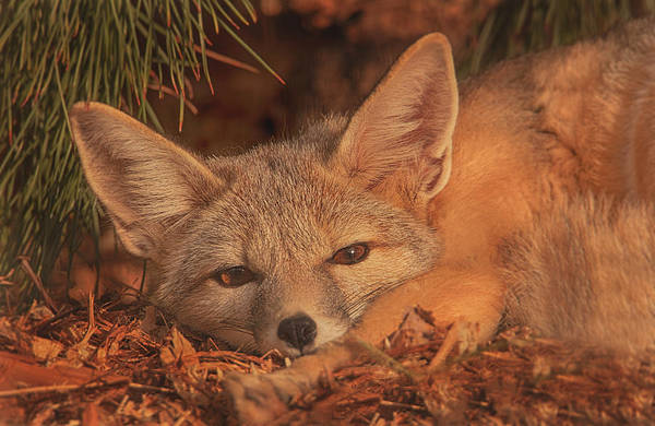 Photograph - San Joaquin Kit Fox  by Brian Cross