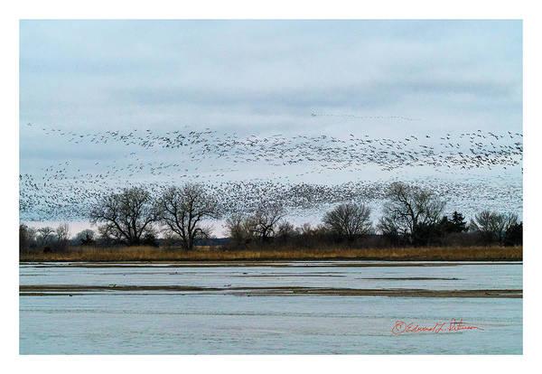 Photograph - Sandhill Crane Migration by Edward Peterson