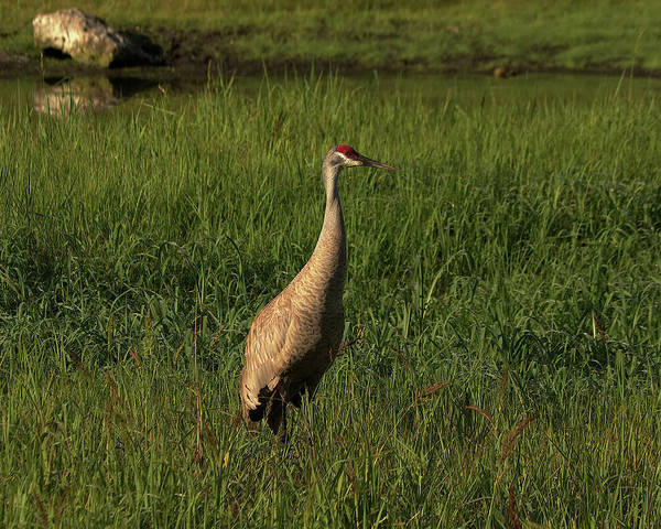 Wall Art - Photograph - Sandhill Crane by Richard Rizzo