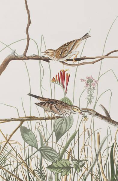 Savannah Painting - Savannah Finch by John James Audubon