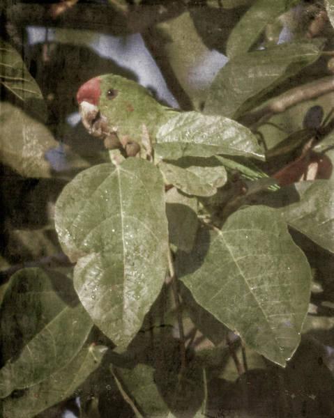 Photograph - Scarlet-fronted Parakeet Palacio Del Barbas Filandia Colombia by Adam Rainoff