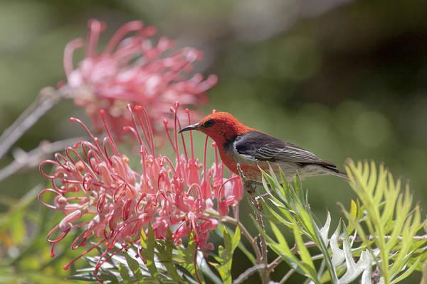 Photograph - Scarlet Honeyeater by Karen Van Der Zijden