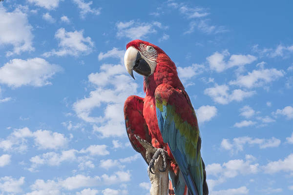 Wall Art - Photograph - Scarlet Macaw by Kim Hojnacki