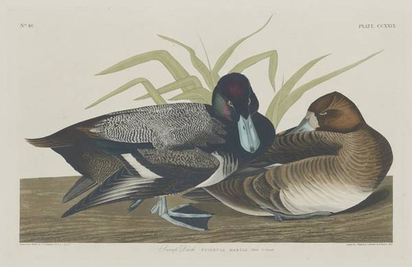 Wall Art - Drawing - Scaup Duck by Dreyer Wildlife Print Collections