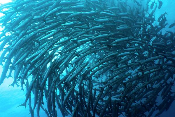 Wall Art - Photograph - School Of Barracudas Underwater by MotHaiBaPhoto Prints