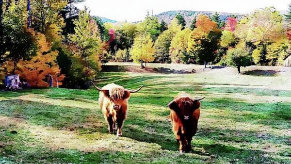 Photograph - Scottish Highland Cattle - New Hampshire Fall Foliage by Joseph Hendrix