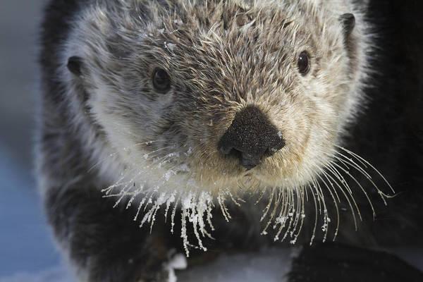 Wall Art - Photograph - Sea Otter In Whittier, Alaska. Winter by Doug Lindstrand