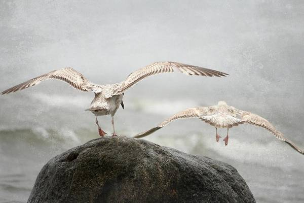 Wallpaper Mixed Media - Seagull 1 by Heike Hultsch