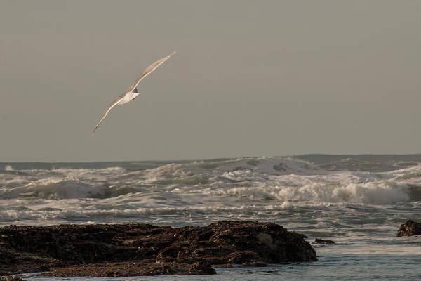 Photograph - Seagull In Flight by Teresa Wilson