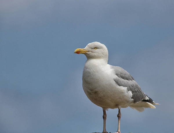 Wall Art - Photograph - Seagull Lookout by Martin Newman