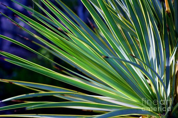 Yucca Elata Wall Art - Photograph - See The Light Of Day by Janet Marie