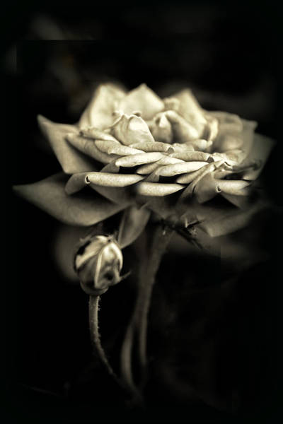 Rose Bud Photograph - Sepia Rose by Jessica Jenney